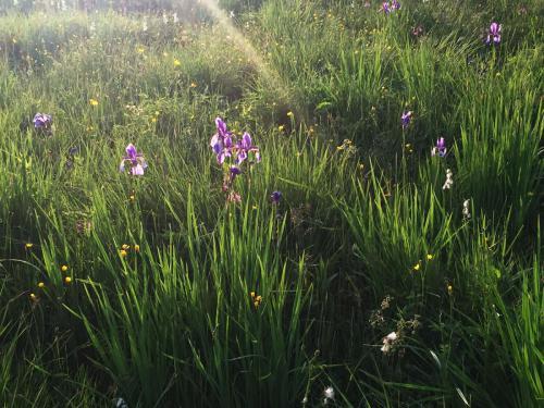Iris Sibirika - Blaue Schwertlilie
